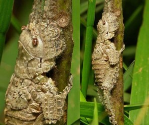22-Katydid-Nymph-Pseudophyllinae-Cymatomerini-Olcinia
