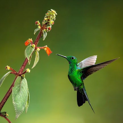 Green-crowned brilliant(male)